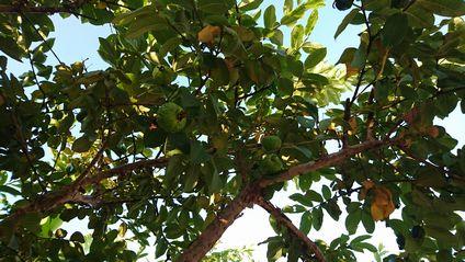 グアバの木