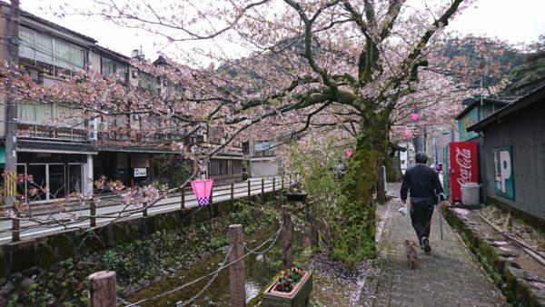 城崎温泉 桜吹雪の風景