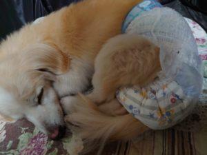 人間の赤ちゃん用のおむつをはく犬のクレア