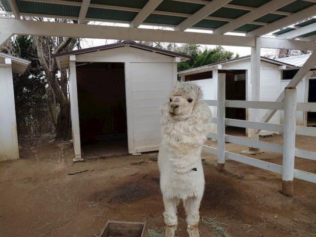 のじま動物園のアルパカ