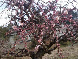 月ケ瀬梅林 梅の花